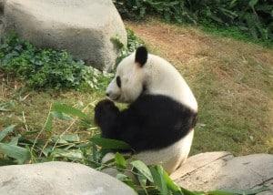 Ocean Park Pandas