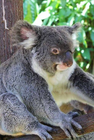 Koala gardens kuranda with kids