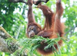 Orangutan at Singapore zoo