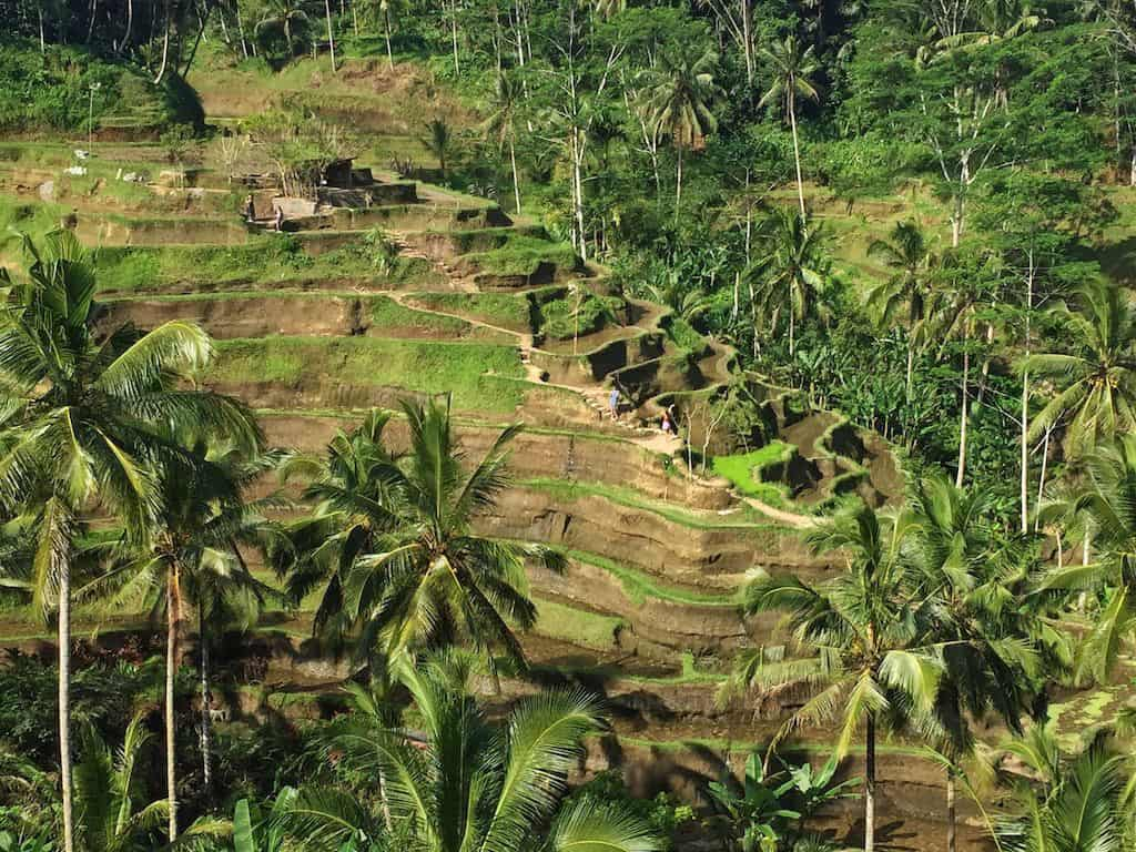 Rice terraces Bali