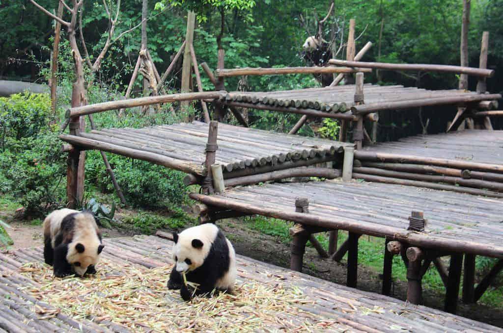 Pandas at Chengdu Panda Base