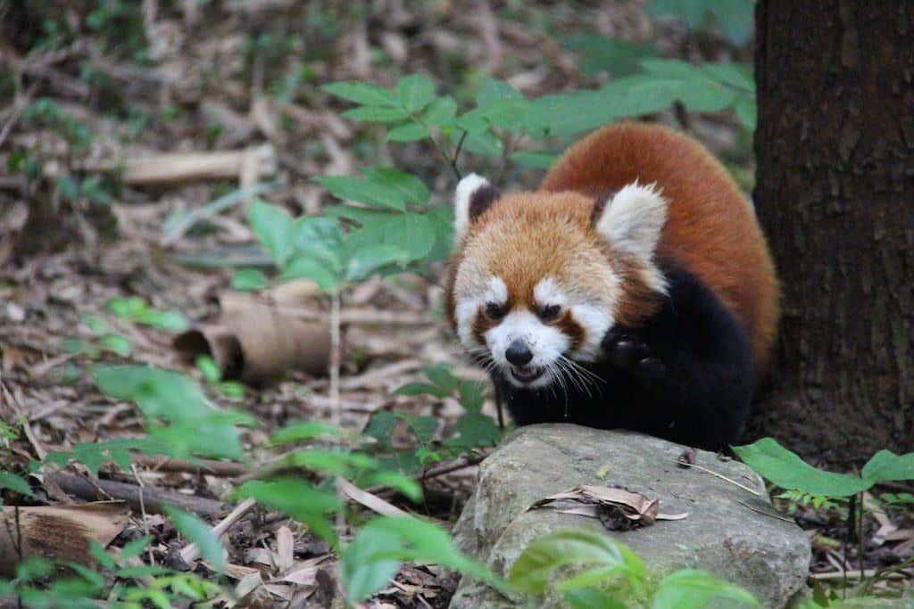 Chengdu panda base red panda