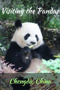 Visiting the pandas in Chengdu China