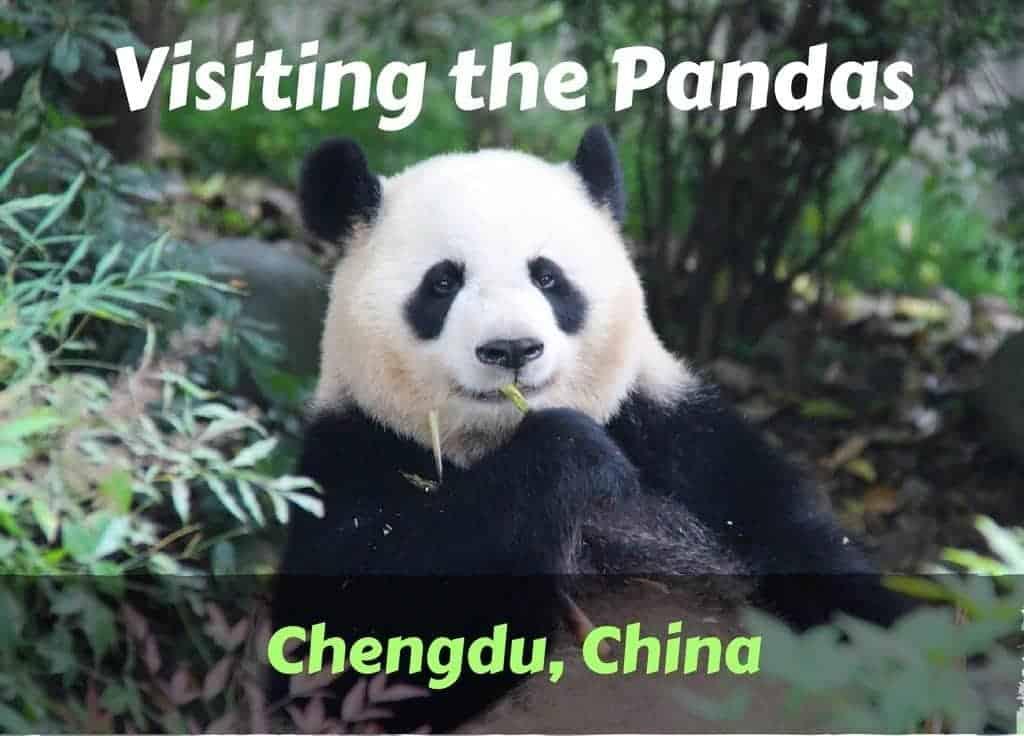 Visiting the pandas in Chengdu China