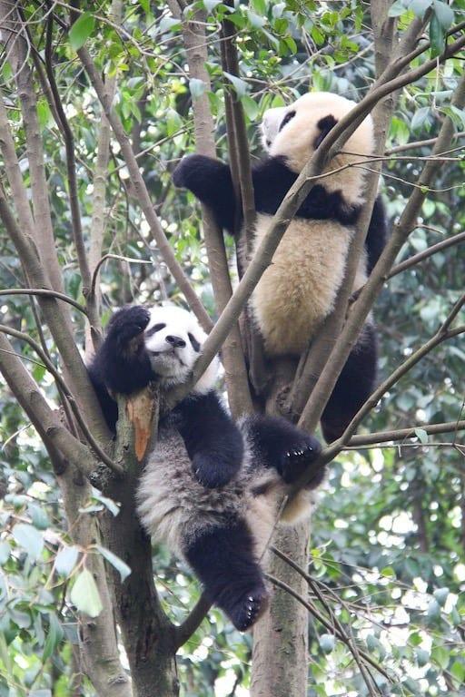 Pandas sleeping at Chengdu panda base