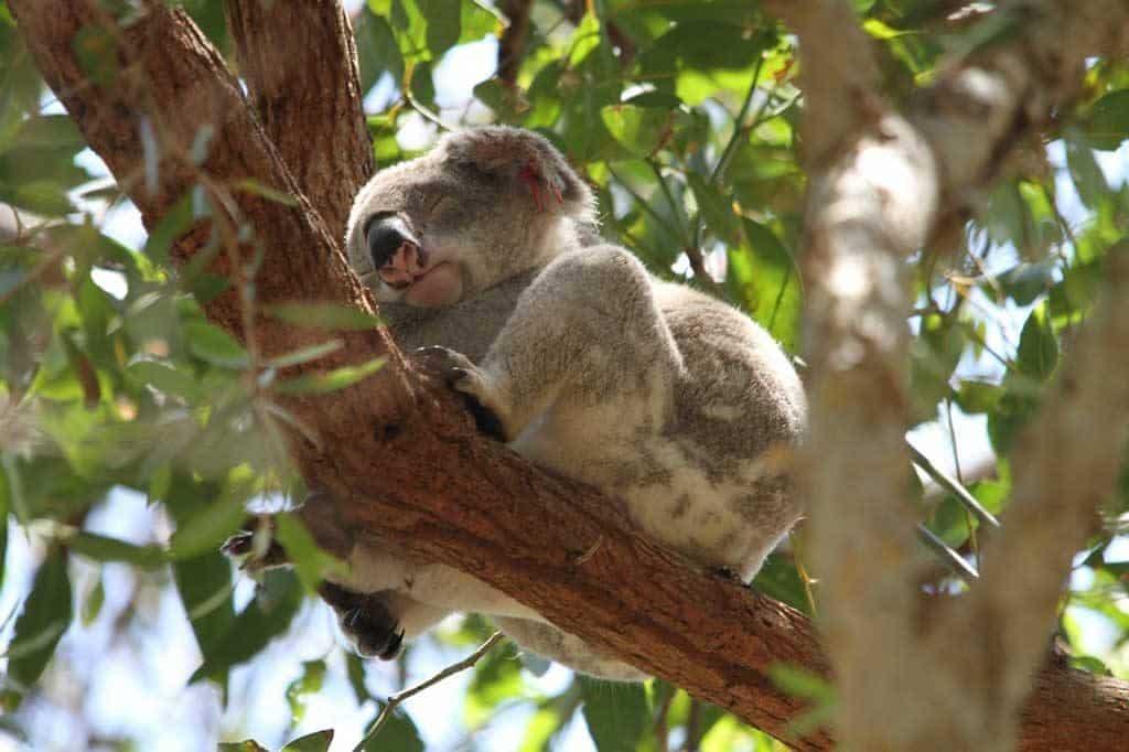Koala Noosa National Park