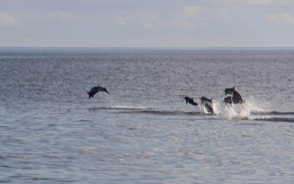 soneva fushi dolphins