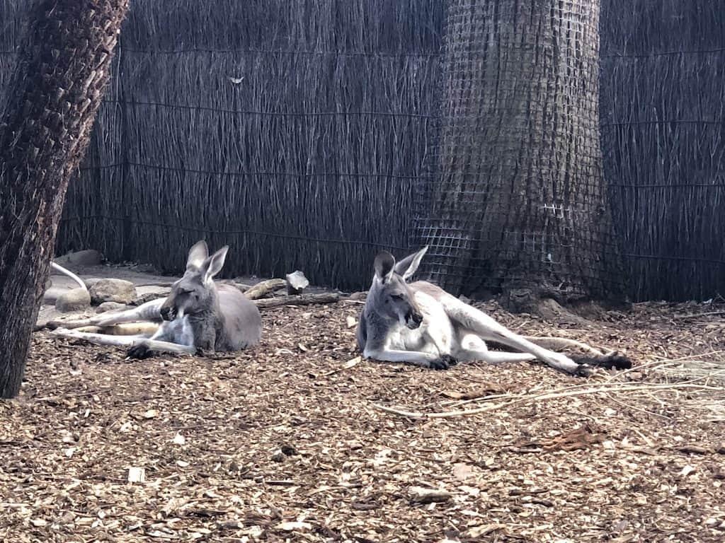 Kangaroos at melbourne zoo