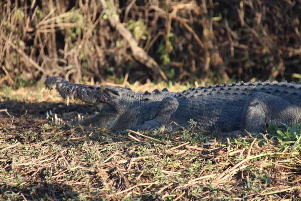 Kakadu crocodile