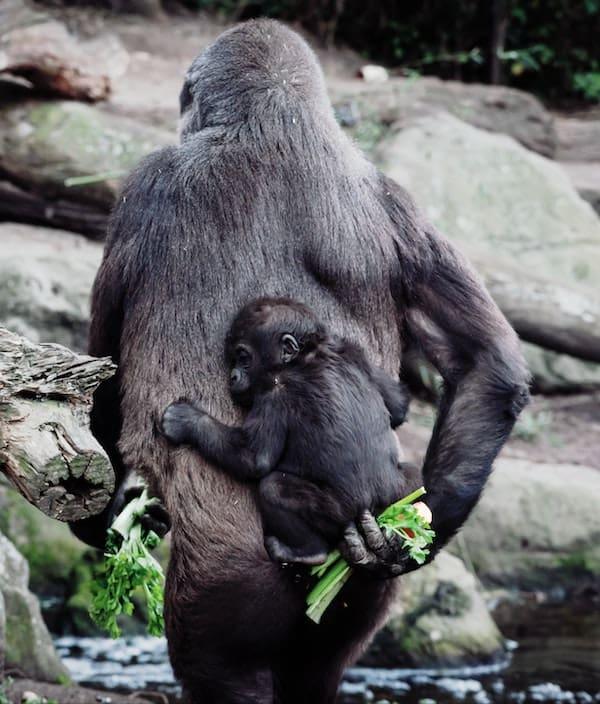 Gorilla Taronga Zoo