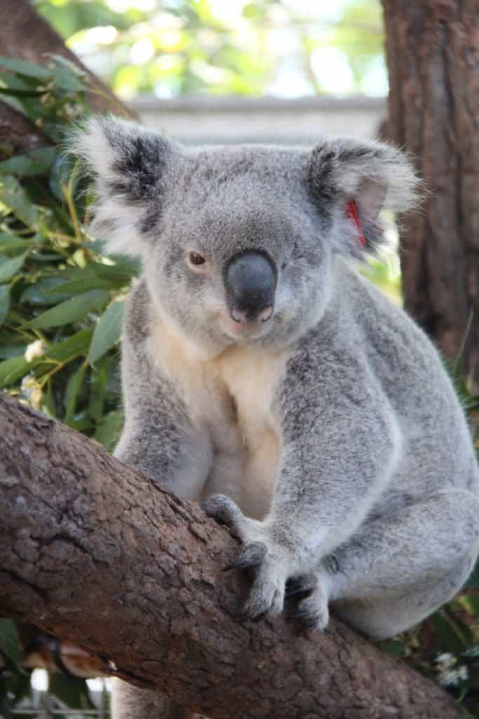 Koala at Port Macquarie Koala Hospital