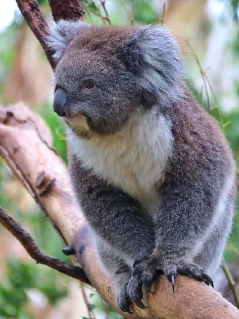 Koala at Hunter Valley Zoo
