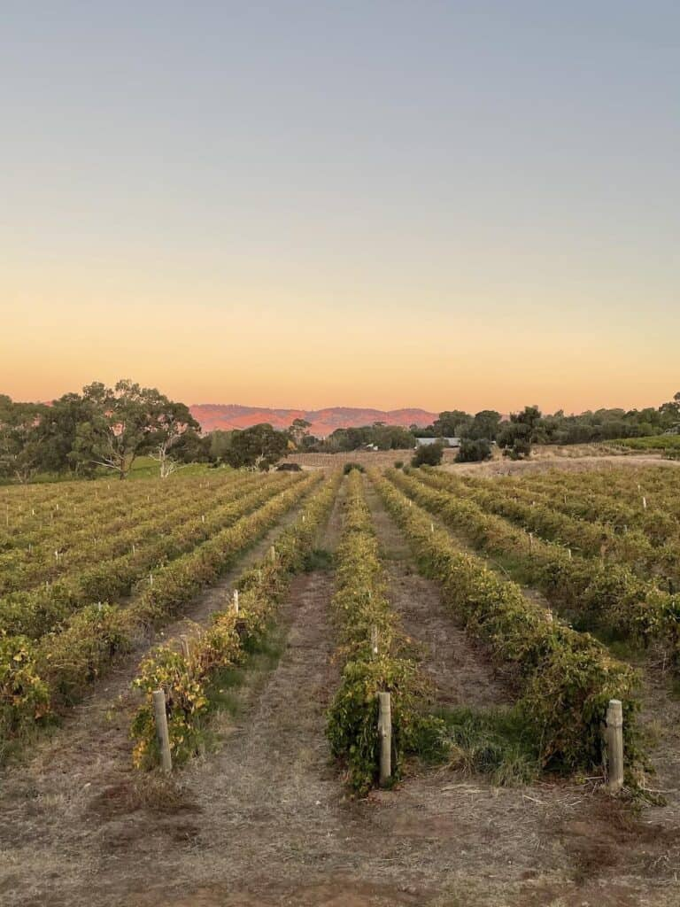 Sunset over the vineyard in Barossa Valley