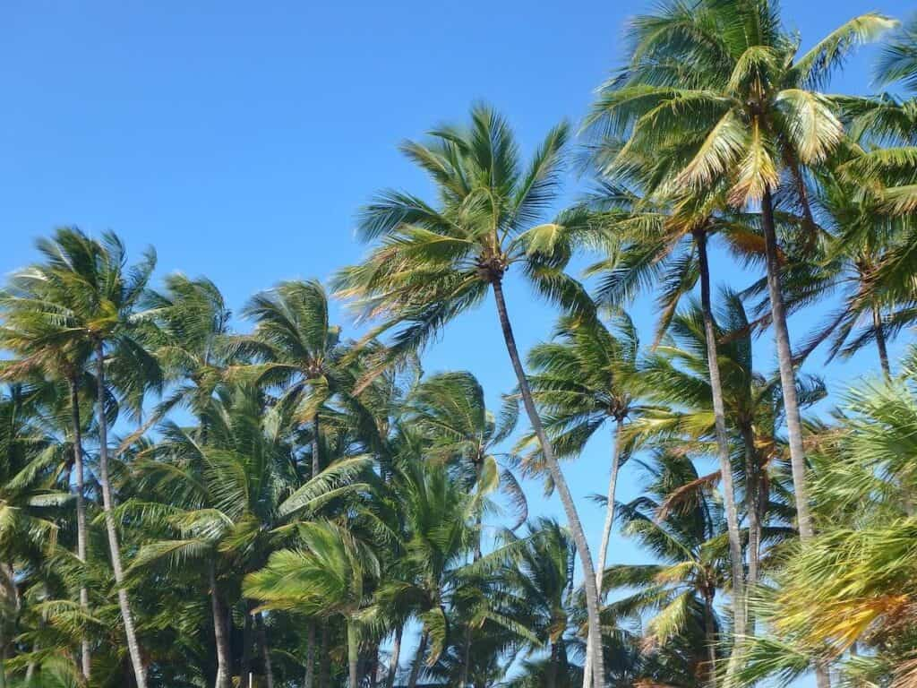 Palm trees in Port Douglas