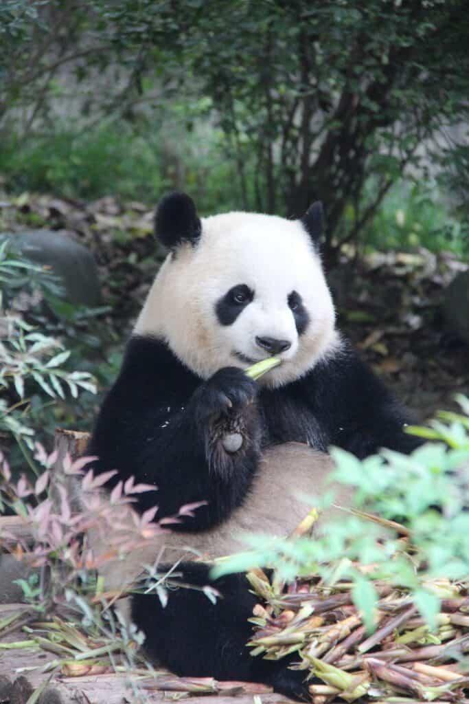 panda at Adelaide Zoo