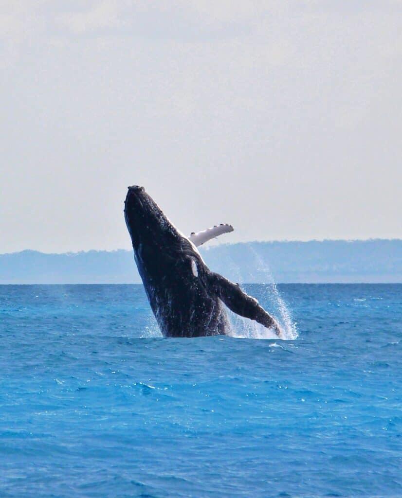 Humpback whale in Hervey Bay